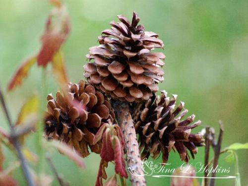 pinecone-6