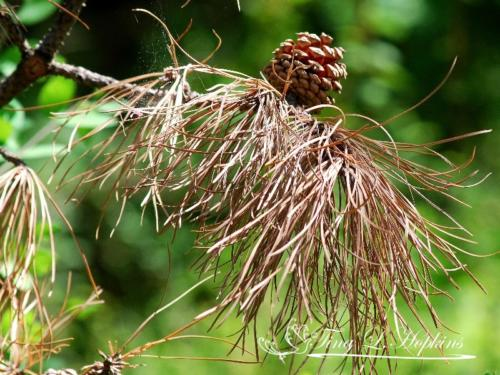 pinecone-7