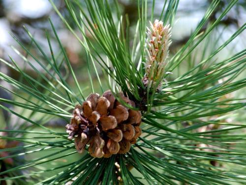 pinecone-8