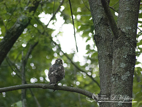 Broad Shoulder Hawk