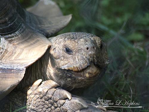 Cranky - African Spurred Tortoise