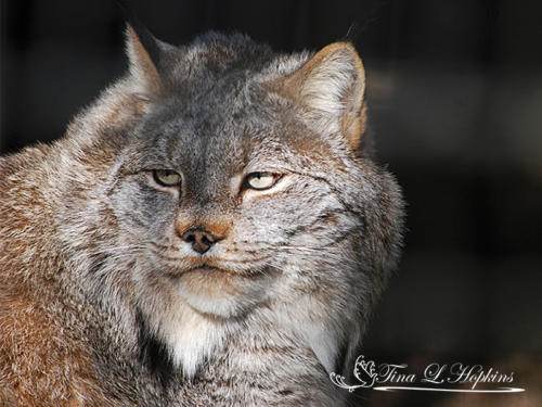 Canadian Lynx - Lexi