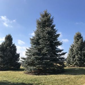 However, some conifers, such a yews, have fleshy cone that look more like fruit. Coniferous Trees For Sale Naturehills Com