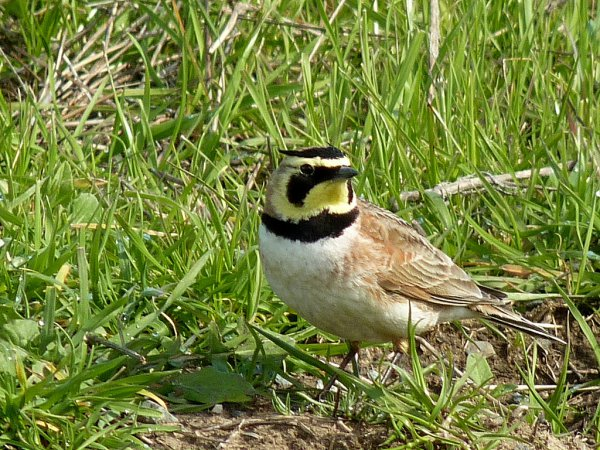 Photo (1): Horned Lark