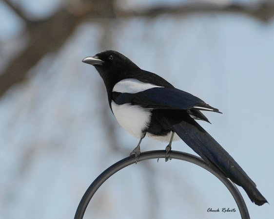 Photo (9): Black-billed Magpie