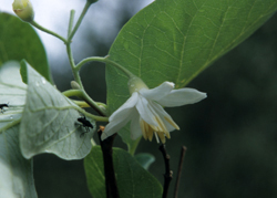 Le célébre Aliboufier plante rare et médicinale
