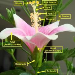 Flower Parts Diagram Without Labels Temperature Entropy For Water Hibiscus