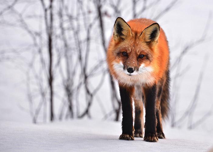 Walk like a fox