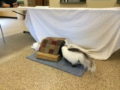 "Campers at Grand Traverse Conservation District day camp built a ""Skunk Amusement park"" to observe how well our skunk can sniff out treats."