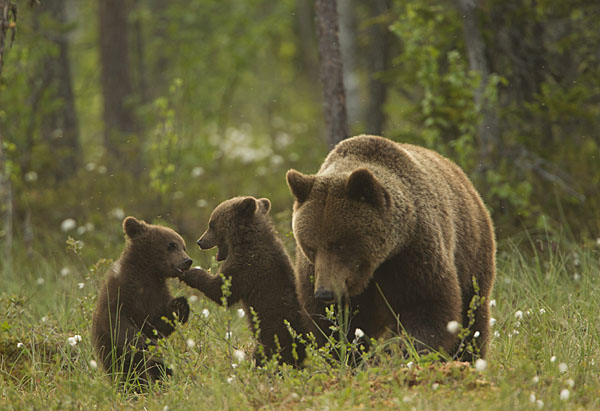 Image result for bear with cubs
