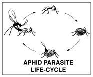 APHID PARASITES FACT SHEET & Release Instructions