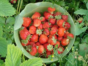 Strawberry Patch Type Fragrance Oil