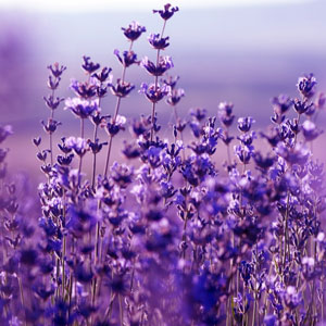 Best Lavender Fragrance Oils Lavender Flowers Fragrance Oil
