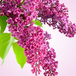 Best Fragrance Oils for Candles Lilac Fragrance Oil