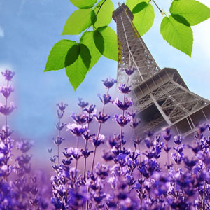 Best Lavender Fragrance Oils French Lavender Fragrance Oil