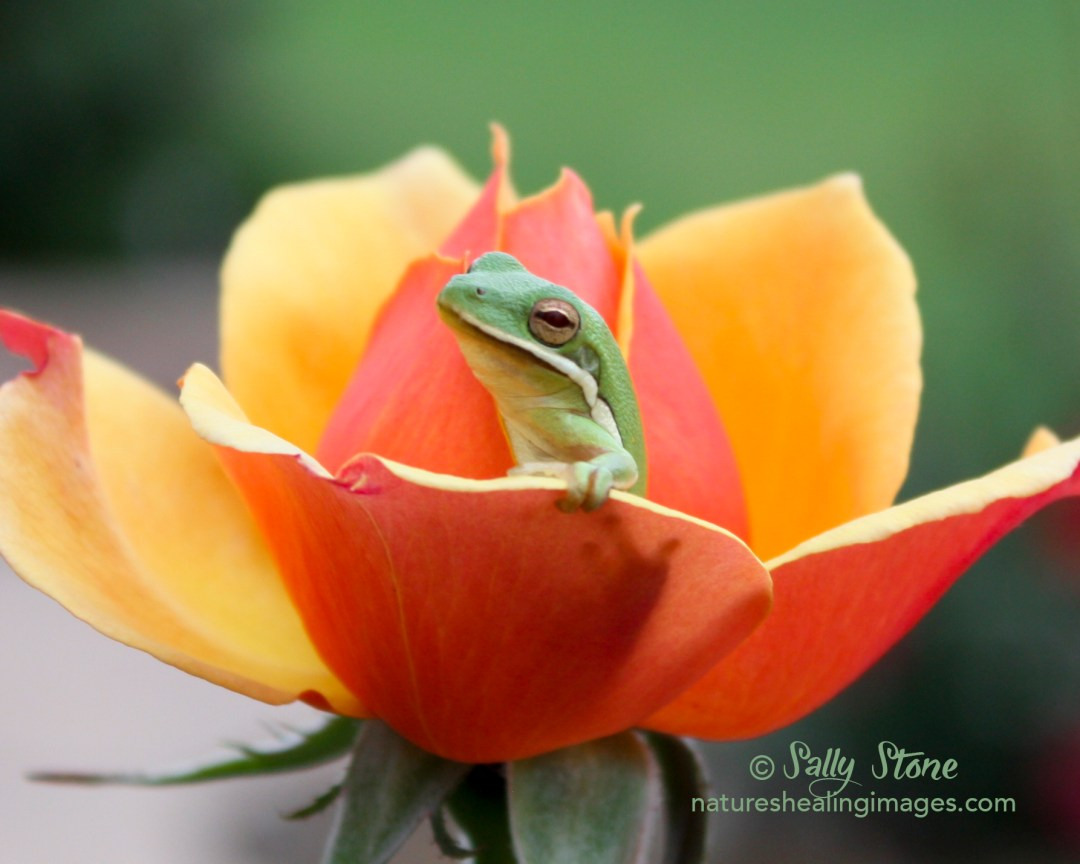 Frog in A Rose