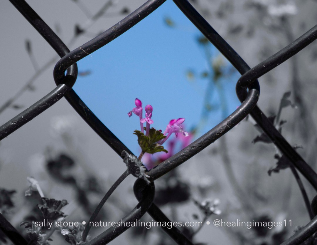Flower in a Fence