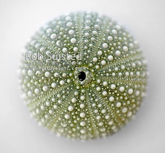 Sea urchin sea egg or kina shell Apical disc and anus
