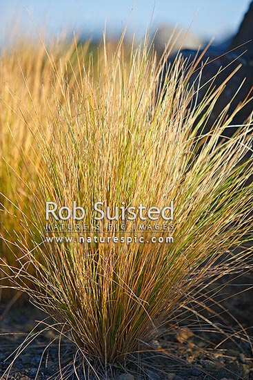 Native Silver tussock grasses Poa cita New Zealand NZ Stock photo from New Zealand NZ Photos and Stock Photography by Rob Suisted