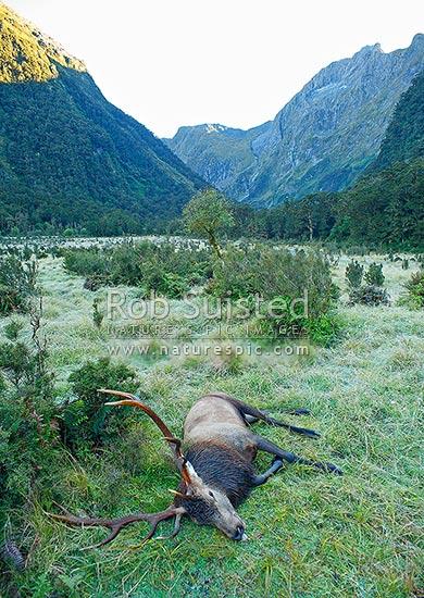 Trophy wapiti bull  red deer stag cross Cervus elaphus
