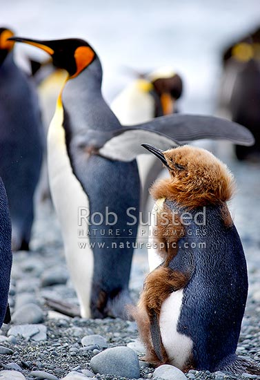 King Penguin chick moulting fluffy brown down into