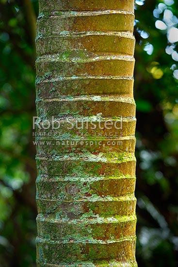 Nikau palm tree trunk Rhopalostylis sapida Arecaceae up