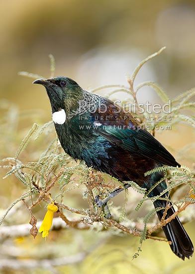 Tui bird feeding on nectar from Kowhai flowers NZ natives Prosthemadera novaeseelandiae  Tui