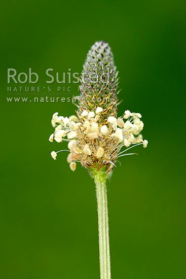 Narrowleaved plantain flower head Plantago lanceolata very common perennial weed Common