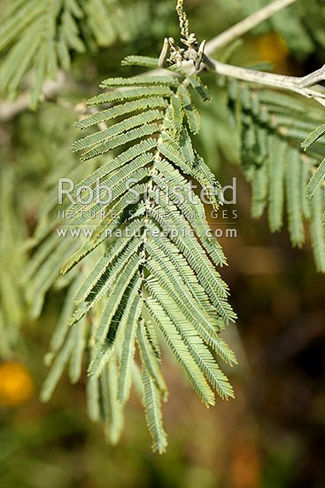 Silver Wattle tree leaves Acacia dealbata known also as