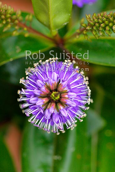 New Zealand hebe flowers or inflorescence Also know as