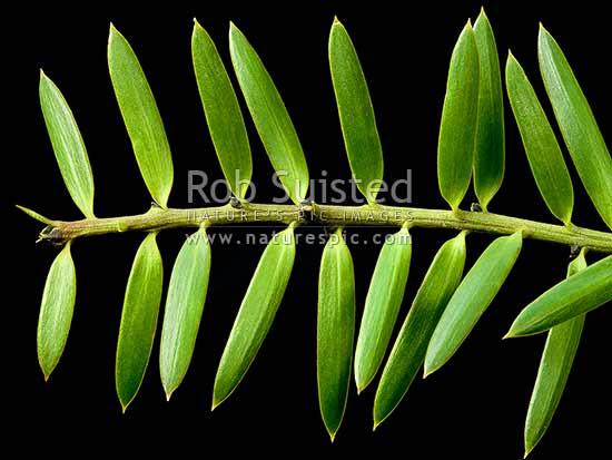 Leather leaf fern perches on limb, pyrosia eleagnifolia. Native Totara Tree Leaves Podocarpus Totara With Black Background New Zealand Nz Stock Photo From New Zealand Nz Photos And Stock Photography By Rob Suisted