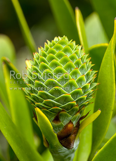 Kauri tree Agathis australis developing pollinated female cone amongst leaves and foliage New Zealand NZ Stock photo from New Zealand NZ