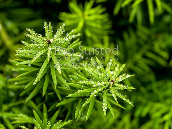 Dacrycarpus dacrydioides or kahikatea (from its name in the māori language) is a coniferous tree endemic to new zealand. Totara Tree Podocarpus Totara Leaves With Rain Droplets Juvenile Leaves Of Native Podocarp Tree New Zealand Nz Stock Photo From New Zealand Nz Photos And Stock Photography By Rob Suisted