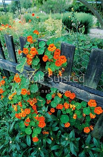 Nasturtium flowers climbing over fence Levin New Zealand NZ Stock photo from New Zealand