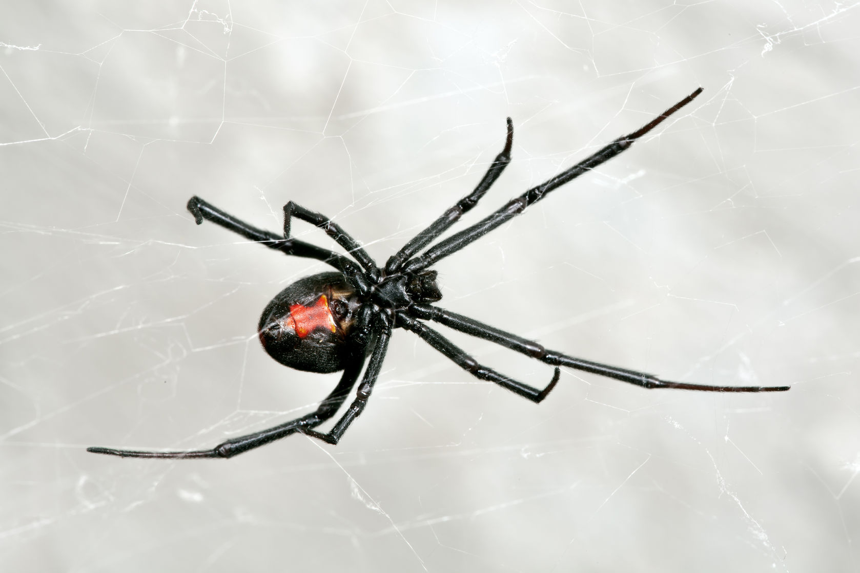poisonous spiders in ny