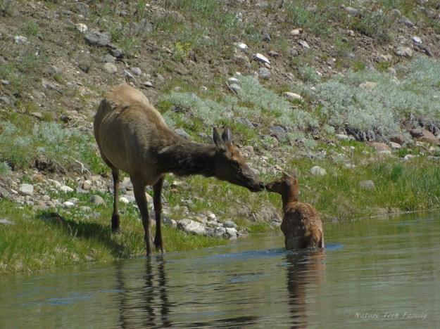 Elk_Kiss