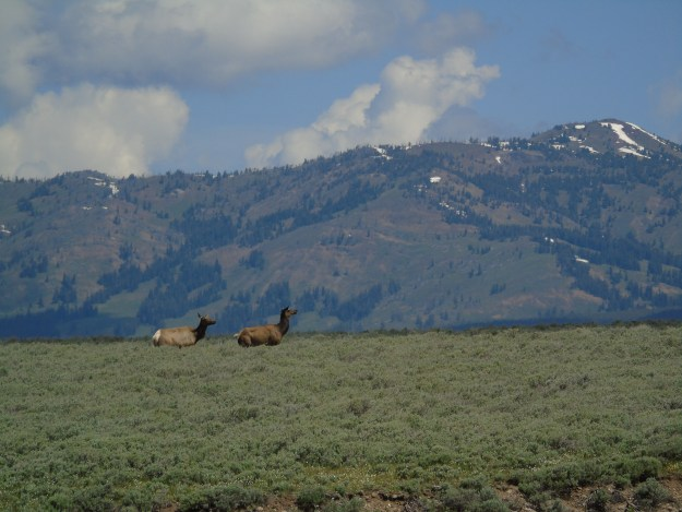 Elk cows in Hayden Valley, Yellowstone.