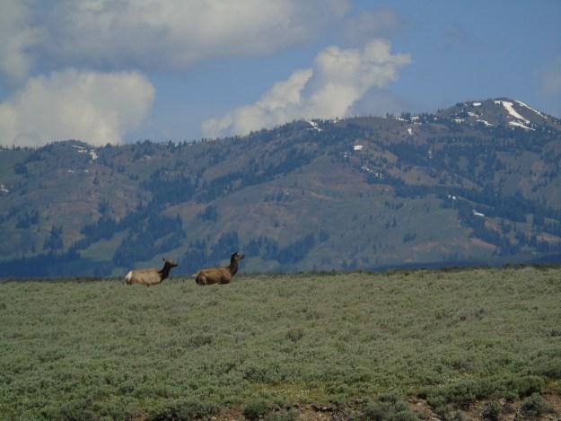 Elk cows in Hayden Valley, Yellowstone.