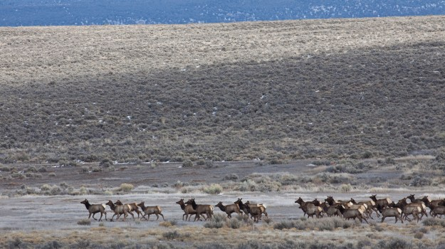 Elk on the Taos Plateau