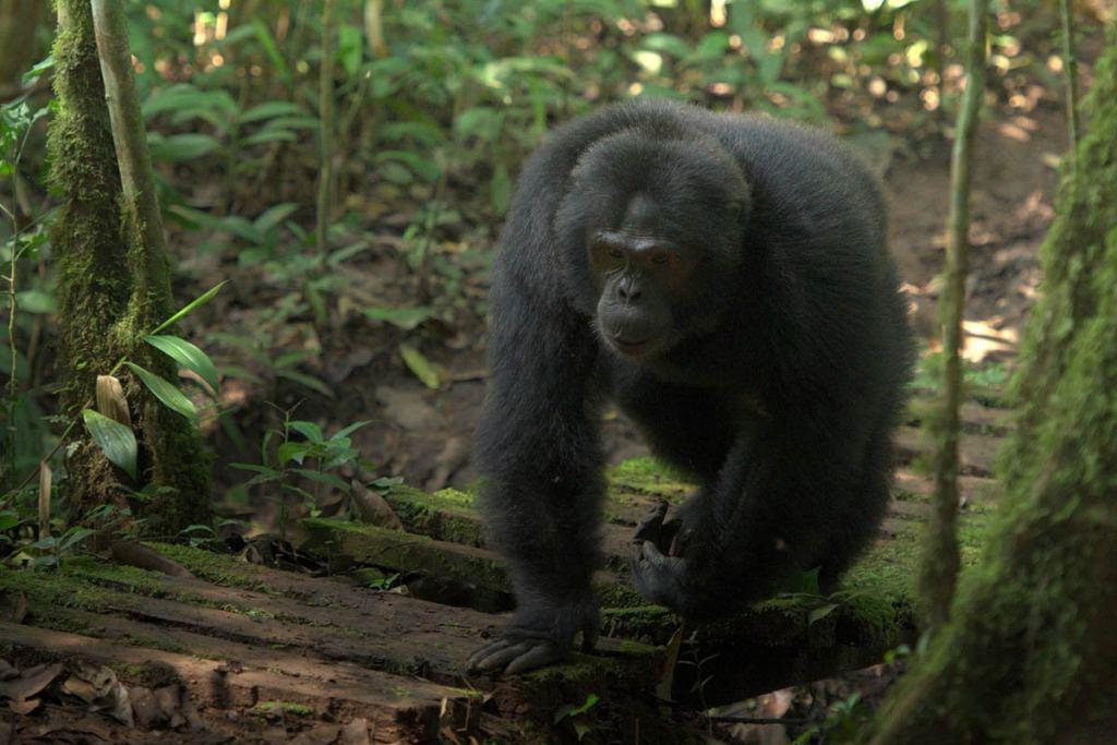 Comparing Chimpanzee Trekking & Gorilla Trekking