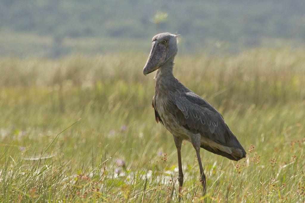 Shoebill birding in Uganda