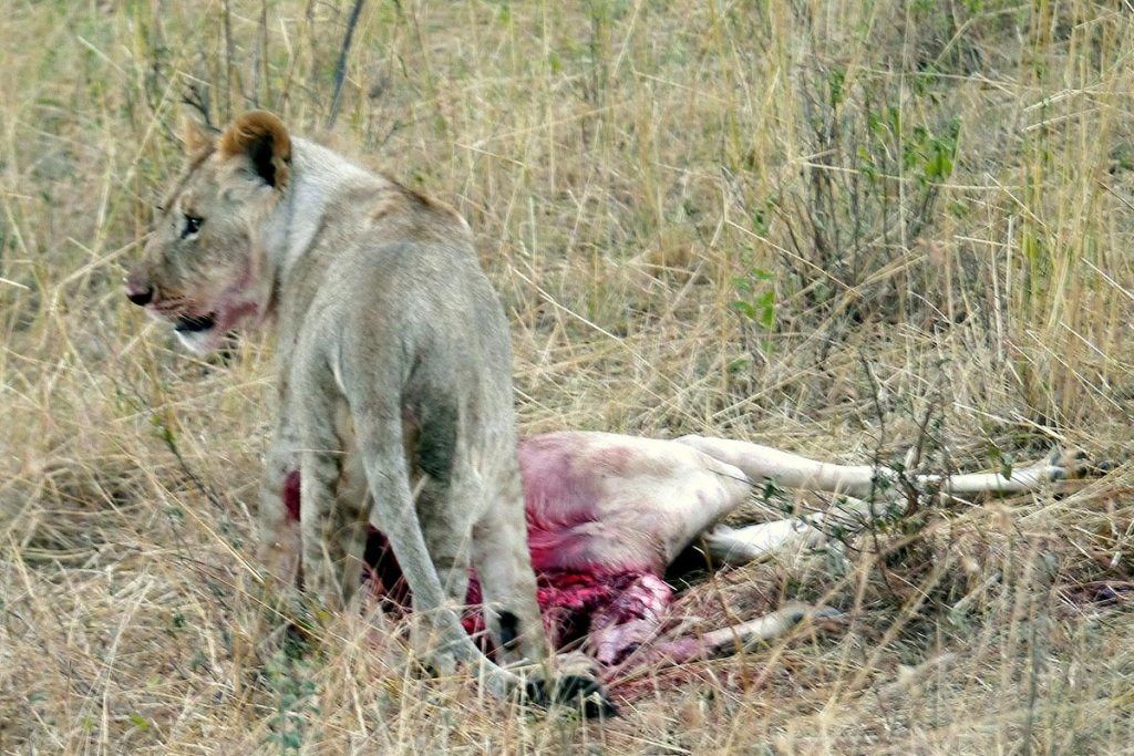lion safari hunt in Uganda