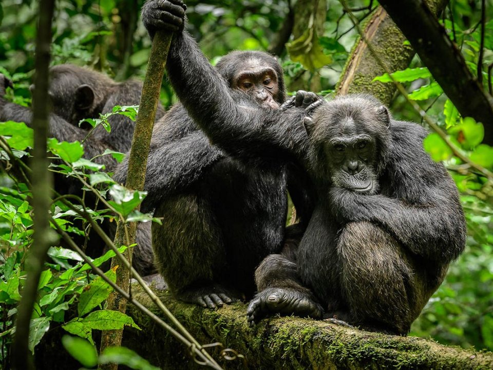Chimpanzees in Uganda and Facts