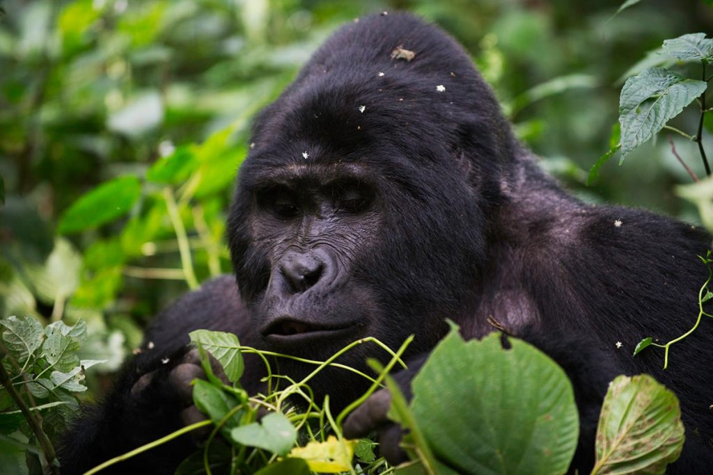 ee a mountain gorilla in the thick mountain forest of Bwindi Impenetrable Forest