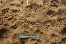 Mexican Free-tailed Bat Tracks (1)