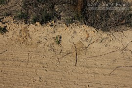 Kangaroo Burrows