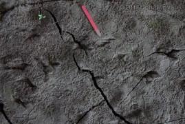 Bullfrog Tracks