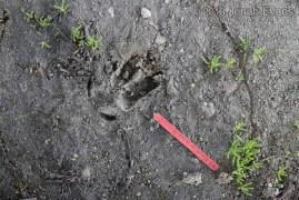 Deer Front Track