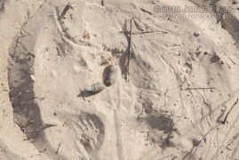 Bobcat Scat