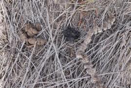 Deer Scat (Middle) and Hog Scats